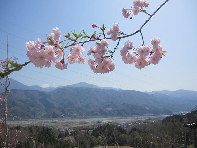平成30年4月1日現在、花をつける枝垂桜が増えてきました。