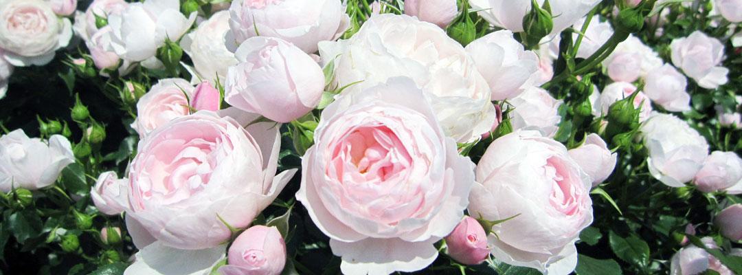 バラ園・香りのガーデン