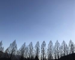 メタセコイアの冬