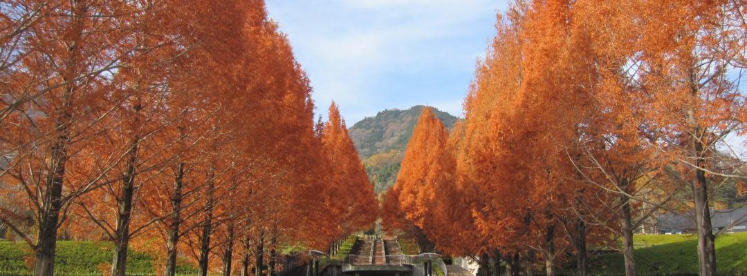 メタセコイア並木紅葉