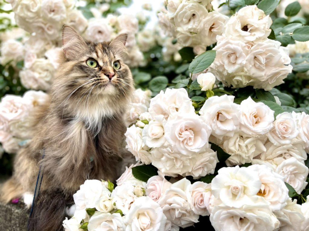 白い薔薇と次女